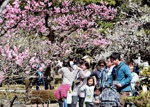 Flores de ameixeiras se colorem de branco, rosa e vermelho. Foto: Chunichi