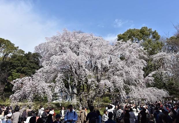 Cascata de flores de cerejeira no Parque Rikugien. Foto: Mainichi